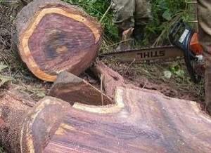 rosewood log